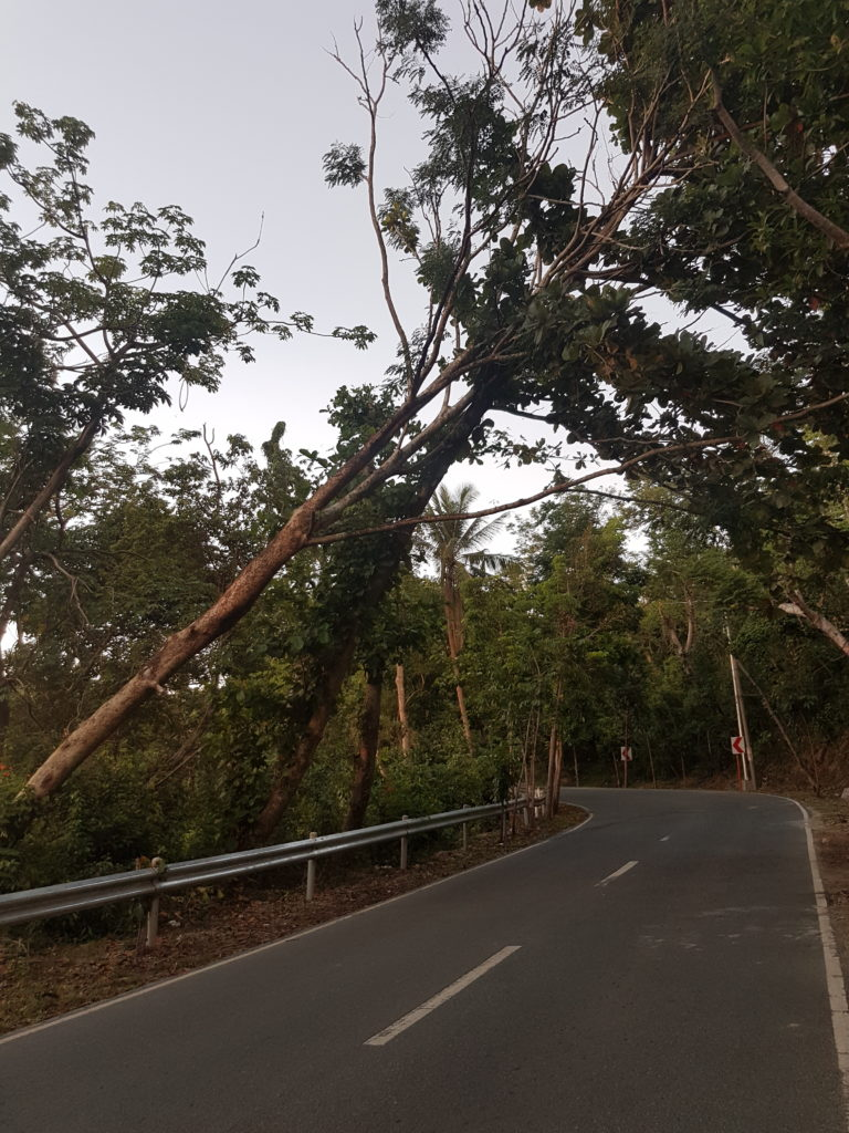 Dangerous trees along the road to San Isidro
